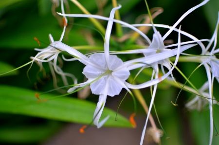 yielding: Crinum plants bearing white flowers in a garden