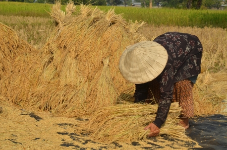 Female farmer gathering harvested rice paddy on to the ground to dry them up Stock Photo