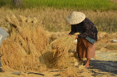 harvests: Female farmer gathering harvested rice paddy on to the ground to dry them up Stock Photo
