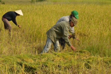 harvests: Pakse, Laos - October 2013 - Farmers harvesting rice paddy by using sickles