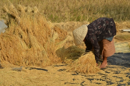 harvests: Female farmer gathering havested rice paddy on to the ground to dry them up Stock Photo