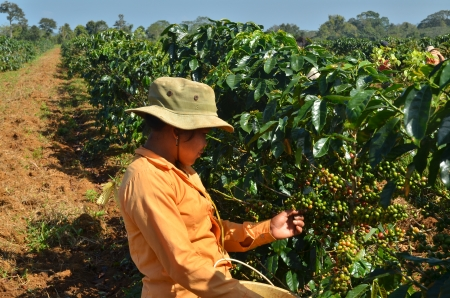 coffee harvest: Female farmer hand picking arabica coffee berries in red and green on its branch tree at plantation Editorial