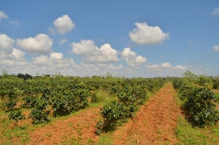 Arabica Coffee Plantation
