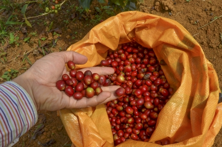 Farmer pouring red arabica coffee berrieson into a sack at coffee plantation photo