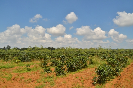 Arabica Plantatio with blue sky photo
