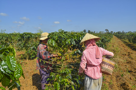 Female farmers hand picking arabica coffee berries in red and green on its branch tree at plantation Editorial