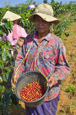 Female farmer with a bucket of red arabica coffee berries hand picking at coffee plantation