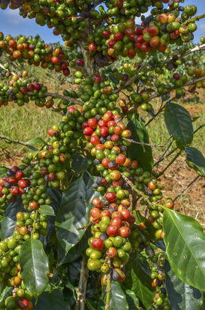 Arabica coffee berries in red and green on its branch tree at plantation photo