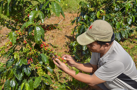 Male farmer hand picking arabica coffee berries in red and green on its branch tree at plantation