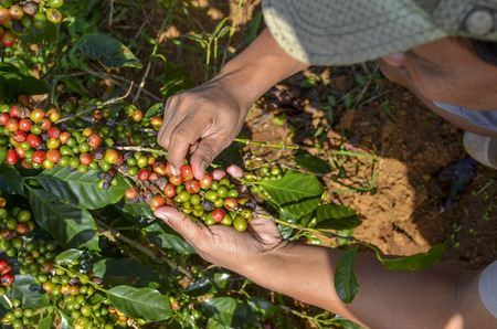coffee harvest: Male farmer hand picking arabica coffee berries in red and green on its branch tree at plantation
