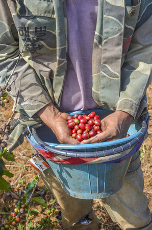 Male farmer with a bucket of red arabica coffee berries hand picking at coffee plantation
