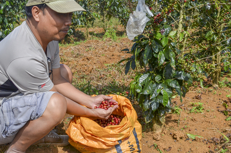 Male farmer with a sack of red arabica coffee berries hand picking at coffee plantation