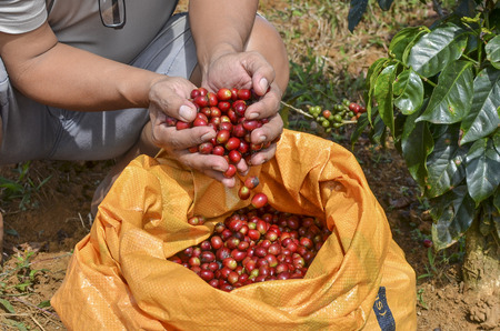 Farmer with a sack of red arabica coffee berries hand picking at coffee plantation Editorial