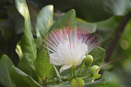 barringtonia: Flower of Barringtonia asiatica  or Fish Poison Tree, Putat or Sea Poison Tree in full bloom on its tree