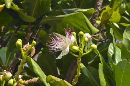 barringtonia: Flowers of Barringtonia asiatica  or Fish Poison Tree, Putat or Sea Poison Tree in full bloom on its tree