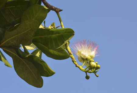sea poison: Flower of Barringtonia asiatica  or Fish Poison Tree, Putat or Sea Poison Tree in full bloom on its tree