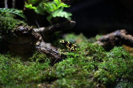 poison frog: Amarillo rana dardo venenoso congregado De Tailandia
