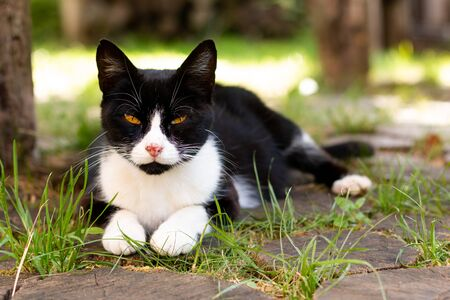 Pets care concept  black and white cat sore scratch nose laying outdoor with copy space