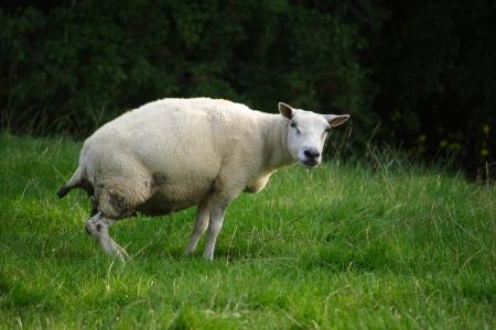 excrete: A sheep excretes urine