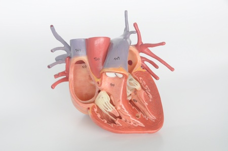 left ventricle: human heart model