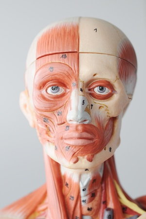 radiogram: anatomy of head human muscle model Stock Photo