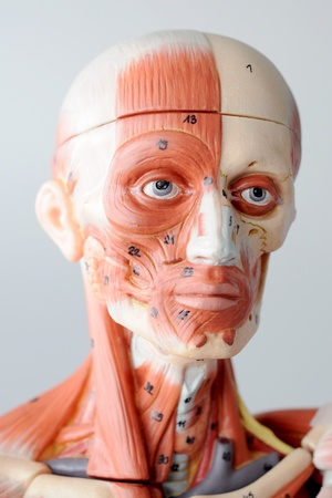 anatomy of head human muscle model Stock Photo - 13422317