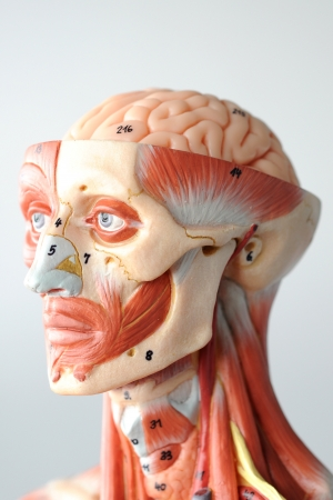 human chest: anatomy of head human muscle model Stock Photo