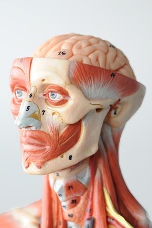 anatomy of head human muscle model Stock Photo - 13416530
