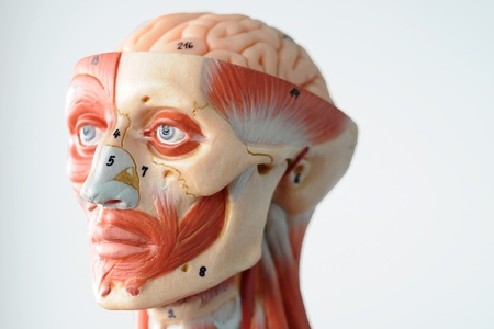 anatomy of head human muscle model Stock Photo - 13422264