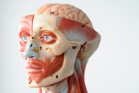 anatomy of head human muscle model Stock Photo - 13422264
