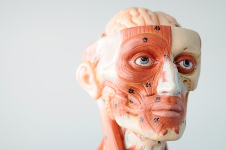 anatomy of head human muscle model Stock Photo - 13416527