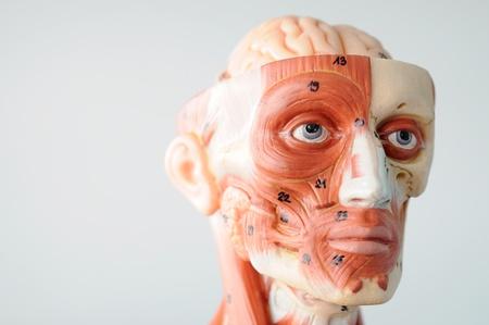 anatomy of head human muscle model Stock Photo - 13416527