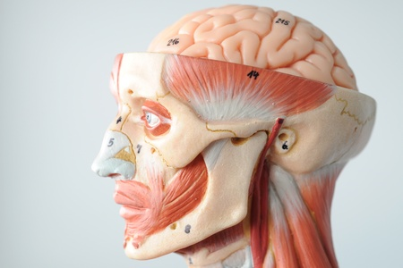 anatomy of head human muscle model Stock Photo