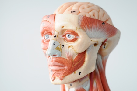 anatomy of head human muscle model Stock Photo