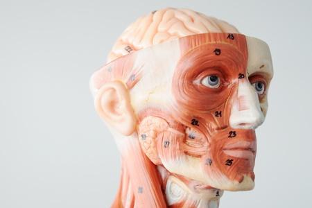 transparent male anatomy: anatomy of head human muscle model Stock Photo