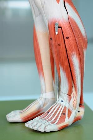 gastrocnemius: anatomy of human muscle model