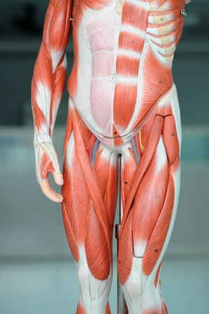 musculature: anatomy of human muscle model
