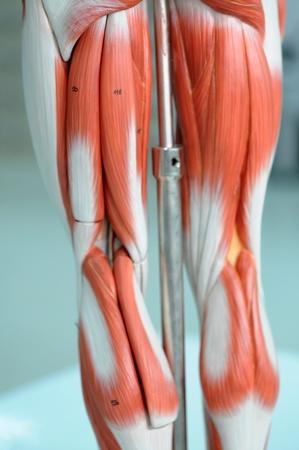 Anatomie Des Menschlichen Muskelmodells Mit Schwarzer Und Weißer ...