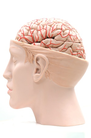 brain stem: anatomy of human brain model Stock Photo