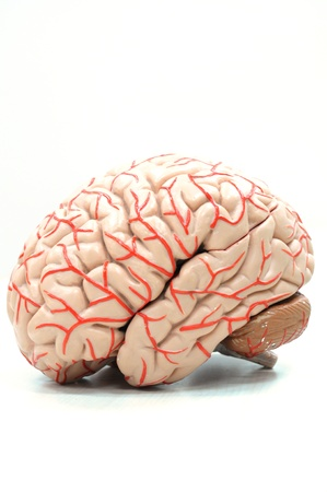 cerebro humano: anatom�a del modelo de cerebro humano