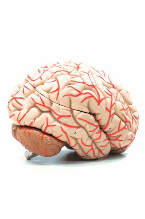 anatomy of human brain model photo