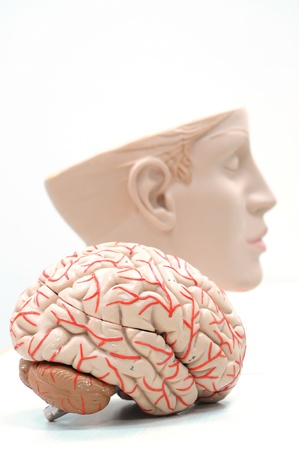 anatomy of human brain model Stock Photo - 13416528