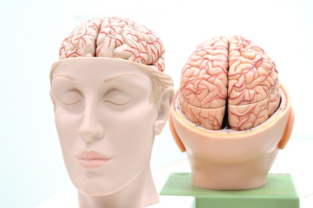 anatomy of human brain model Stock Photo