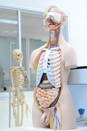 dissection: human anatomy model Stock Photo