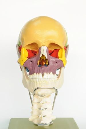 close up to human skull Stock Photo - 13495059