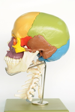 close up to human skull  Stock Photo
