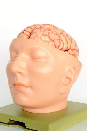 brain of human model  Stock Photo - 13495062