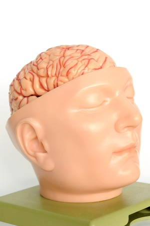 brain of human model  Stock Photo - 13495052