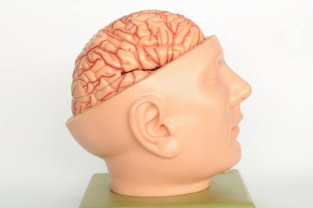 brain of human model  Stock Photo - 13495070