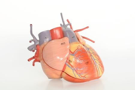 human heart model photo